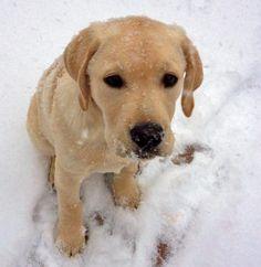 Finn the Labrador Retriever