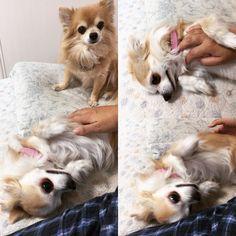 なでられたいナナと順番待ちのちゃあ  #dekachiwa #chihuahua #dog #チワワ #ふわもこ部 #chihuahuaofinstagram