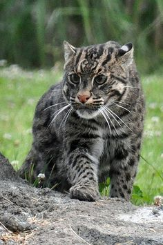 The fishing cat (Prionailurus viverrinus) is a medium-sized wild cat of South and Southeast Asia. Small Wild Cats, Small Cat, Big Cats, Cool Cats, Cats And Kittens, Nature Animals, Animals And Pets, Cute Animals, Animal Gato