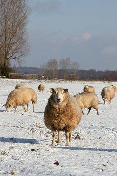 Sheep in winter landscape