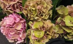 #Hydrangea #ElbtalClassic; Available at www.barendsen.nl