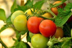 List rostlině dodává život. U rajčat se odstraňují jen ty špatné spodní listy-Foto: pixabay.com