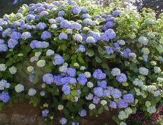 Íme, a titok, hogy szép hortenziánk legyen a kertben Bellisima, Flora, Fruit, Plants, Gardening, Outdoors, Gardens, Lawn And Garden, Plant