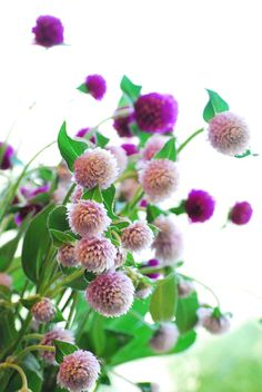 globe amaranth Globe Amaranth, Bachelor Buttons, Pink Flowers, Pretty, Plants, Garden, Plant, Planting, Planets