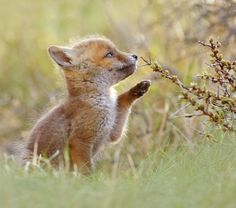 Curious Fox Kit by © Roeselien Raimond