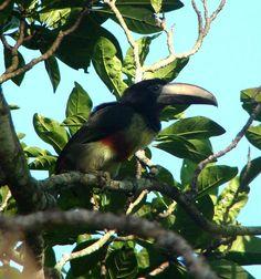 Araçari-de-bico-branco (Pteroglossus aracari) por Roberto Braga | Wiki Aves - A Enciclopédia das Aves do Brasil