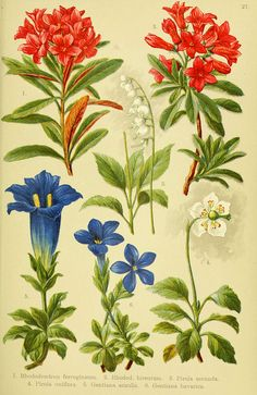"""Plate 27 from """"Alpen-Flora für Touristen und Pflanzenfreunde"""" by Julius Hoffmann and Hermann Friese; Stuttgart: Verlag für Naturkunde Sprösser & Nägele,1904"""