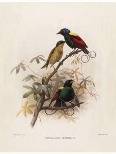 13 Wilson's Bird of Paradise