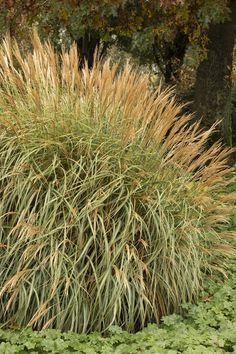 Large Ornamental Grasses
