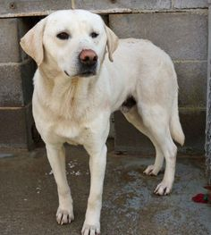 #GEORGIA ~ Bo 14-0091 is a Yellow Labrador Retriever  mix - Animals at this facility are subject to euthanasia after a 3 day holding period. PLEASE contact the shelter ASAP if you're interested in #adoption or #rescue as he's #urgently in need of a loving home at CHATTOOGA COUNTY ANIMAL CONTROL 464 Red Oak Rd #Summerville GA 30747 Ph 706-857-0679