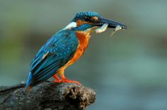 Kingfisher With Double Fish by karthik Nature photography Kingfisher, Wild Birds, Farm Animals, Pet Care, Nature Photography, Watch, Clock, Bracelet Watch, Common Kingfisher