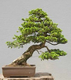 Image result for spruce bonsai