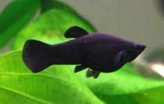 This article focuses on three freshwater aquarium fish species that are a must for any newly prepped hobbyist's tank. The Black Molly, Platys as well as Swordtails, make a great addition to a new aquarium environment and do not require an extreme amount of care. In addition to a brief explanation about each of these freshwater species, the article also talks about making sure a basic aquarium is ready beforehand, for its new occupants.