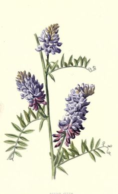 1879 - v.3 - Familiar wild flowers figured and described by F. Edward Hulme - Biodiversity Heritage Library