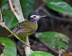 Black-headed tailorbird