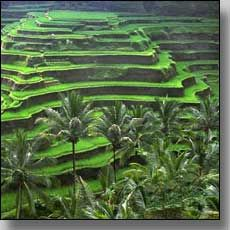 The emerald-green rice terraces in the river gorge north of Tegallalang village in central Bali