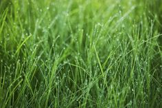 Green Grass with Dew - Fototapeter & Tapeter - Photowall