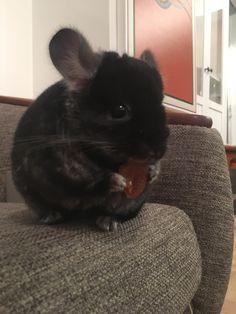 Jon Snow loves apricots  #aww #cute #chinchilla #chinnies #chinchillasofpinterest #cuddle #fluffy #animals #pets #bestfriend #boopthesnoot #itssofluffy #rodents