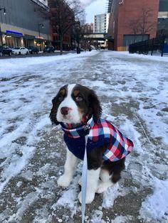 City puppy! English Springer Spaniel