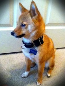 3 Tried & Tested Training Tips For Your Small Dog Hypertension Blood Pressure, Durable Dog Toys, Training Tips, Small Dogs, Corgi, Animals, Little Dogs, Corgis, Animales