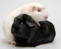морские свинки черно белые фото: 20 тыс изображений найдено в Яндекс.Картинках