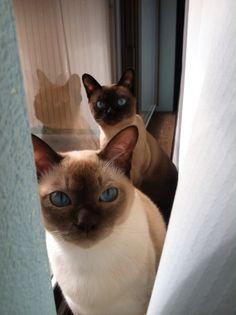 Bacon & Lando - tonkinese cats Siamese Kittens, Kittens Cutest, Cats And Kittens, Rare Cats, Exotic Cats, Oriental Cat Breeds, Burmilla Cat, Siamese Dream, Domestic Cat Breeds