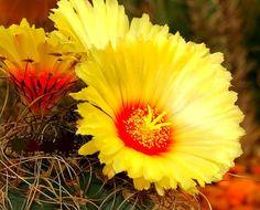 Goat's Horn Cactus Astrophytum capricorne 20 seeds by SmartSeeds