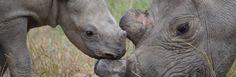 Rhino guardian saves baby
