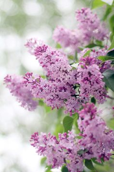 Lilacs they make me think of childhood