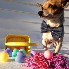 Hope everyone is having a Hoppy Easter Weekend! Thanks to @diverse.dogs for this adorable shot!  Bow Tie: The Willoughby Bow Tie  Repost @diverse.dogs  #dogsinbowties #bowtie #dogbowtie #dapperdog #brooklyn #handmade #shopsmall #brooklynbowtied #madeinbrooklyn #animalsinbowties #adoptdontshop #etsy #dogsofbrooklyn #dogsofinstagram #etsygifts #barkbox #calledtobecreative #marthastewartpets #ohwowyes #dogsinbetween #ruffpost #pawpack #pawstruck #barkpack #bestwoof #dogsofinstaworld…