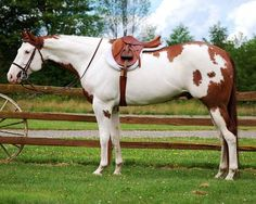 ImaRealSweetNorfleet (Baxter) Lovely horse-like his markings! But I do have to ask who put that saddle on? It's way too far forward. Cute Horses, Horse Love, Beautiful Horses, American Paint Horse, American Quarter Horse, Quarter Horses, Horse Markings, Horse Ranch, Horse Pictures
