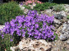 campanula - rocalla. Catalunyaplants.com