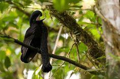 Toropisco amazónico (Pájaro paraguas) ○ Esta especie, cuyo tamaño roza los 50 cm, puede ser encontrada en áreas muy limitadas al oeste de Colombia y Ecuador. Los machos tienen una especie DE BOLSA en el cuello cubierta en plumas con un aspecto semejante al de las escamas. Durante el período de apareamiento, dicha bolsa se infla para atraer a las hembras, junto con un canto similar a un gruñido. Estas aves también son consideradas como una especia en extinción.