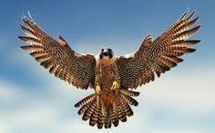 Resultado de imagem para aves de rapina