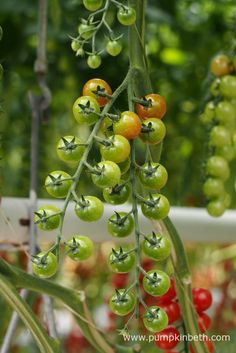 Cherry tomatoes ripening inside one of the glasshouses at Eric Wall Ltd, in Barnham, Chichester, West Sussex.