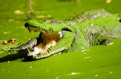 Gambia: Be brave & touch crocodiles at the Kachikally Crocodile Pool.