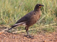 African Pied Starling, Lamprotornis bicolor at Rietvlei Nature Reserve, South Africa, #bird #picture