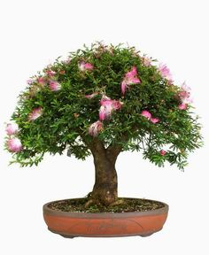 calliandra bonsai - Buscar con Google