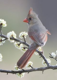 Northern Cardinal female | juvenile ~ photo by Steve Vetter ~ Witch begs the question ~ who vets the vetters?