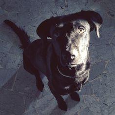 Ma quindi non me ne lasci neanche un pezzettino di quello che stai mangiando? . . #BauSocial #Milano #cane #cani #dog #dogs #mydog #dogoftheday #dogofinstagram #instadog #Bau #blackdog #lablove #labrador #hungry #retriever #blacklab #blacklabrador #love #life #instadog #amazing #italia
