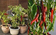 Hot chilli plants - How to grow chillies anywhere in Britain