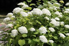 10 Popular Types of Hydrangeas - Growing Tips & Photos | Green and Vibrant Hydrangea Varieties, Types Of Hydrangeas, Panicle Hydrangea, Tiny White Flowers, Showy Flowers, Flowering Shrubs, Types Of Shrubs, Japan Flower, Fall Plants