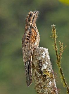 Common Potoo (Nyctibius griseus) videos, photos and sound recordings | the Internet Bird Collection | HBW Alive