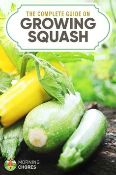 Everything you need to know from start to finish about growing squash plants - planting, varieties, treating bugs and illnesses, and even a few recipes. Winter Vegetables, Organic Vegetables, Growing Vegetables, Fruits And Veggies, Growing Squash, Growing Zucchini, Zucchini Plants, Zucchini Squash, Veg Garden