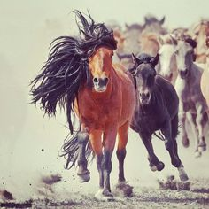 Mongolian horses #equine #horse #horselover http://globalhorsecents.com