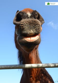 Smile! horse, Gloucestershire Camel, Photographs, Horses, Smile, Animals, Animales, Animaux, Photos, Camels