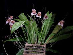 dracula bella orchids   Dracula venefica   Orchids Online
