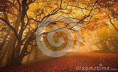 Golden Fall Season Forest - Download From Over 43 Million High Quality Stock Photos, Images, Vectors. Sign up for FREE today. Image: 45314900