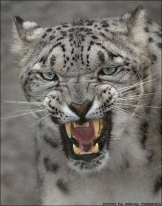 Snarly Clouded Snow Leopard.