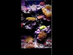 25 gallon Ecoxotic display with stock LED fixture and ORA domino clown. Video uploaded from Aquatek Tropical in Austin, Tx.  Beautiful colors & coral selection.